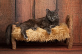 Nebelung Cat on a Little Wooden Bed - 79405402