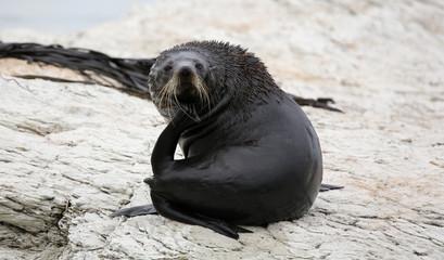 Young New Zealand Fur Seal near Kaikoura (New Zealand)