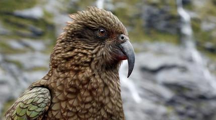 Portrait view of a Kea parrot (Fjordland, New Zealand)
