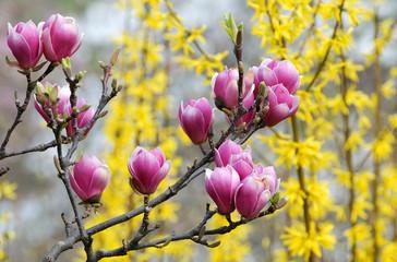 Розовые магнолии на жёлтом фоне