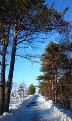 Road through pine forest on sunny winter day
