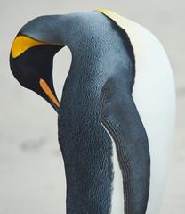 King Penguin (Aptenodytes patagonicus) Preening
