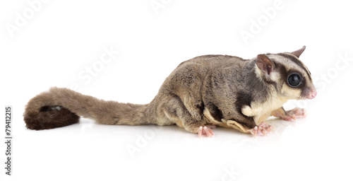 Deurstickers Eekhoorn Sugar Glider on white background