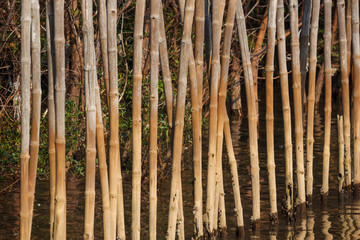 the bamboo in mangrove forest