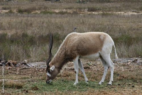 Staande foto Antilope Addax 2