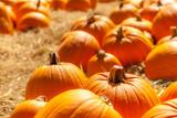 Orange pumpkins in a field of straw