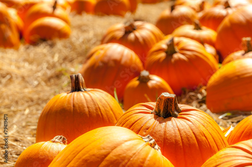 Orange pumpkins in a field of straw - 79419671