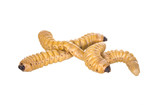 grub worm poster