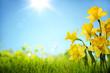 Leinwanddruck Bild - Daffodil flowers in the field
