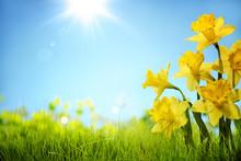"""Постер, картина, фотообои """"Daffodil flowers in the field"""""""