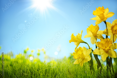 Poster Narcis Daffodil flowers in the field