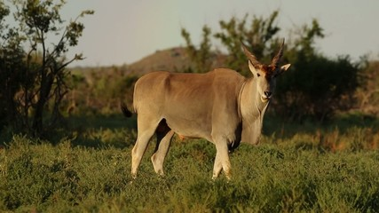 Alert eland antelope, Mokala National Park