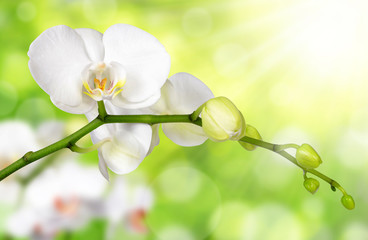 White orchid on green natural background