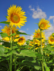 Blooming sunflower field in the background blue sky