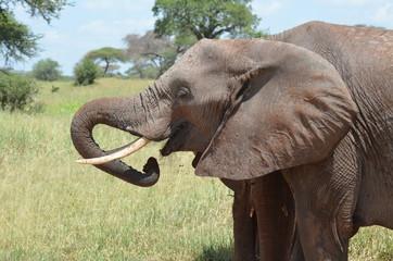 elefante femmina