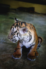 Anoyed baby tiger