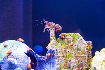 Crayfish in aquarium