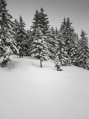 coniferous woodland in snow