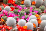 different blossoming cactuses on a show-window of flowers shop