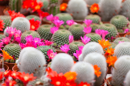 Foto op Canvas Cactus different blossoming cactuses on a show-window of flowers shop