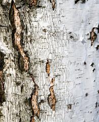 Background of birch bark