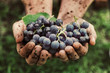 Leinwanddruck Bild - Grapes harvest