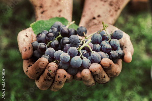 Grapes harvest - 79431036