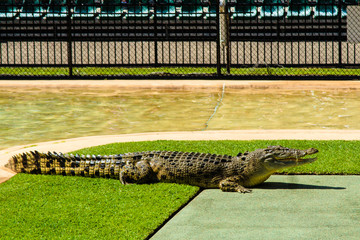 Crocodile Waiting For The Show