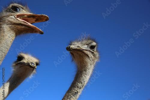 Foto op Aluminium Struisvogel Vogelstrauß