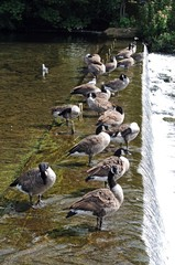 Canada Geese standing on weir © Arena Photo UK