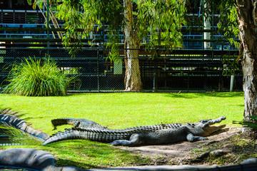 Resting Crocodiles