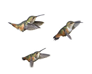 Hummingbird Hovering