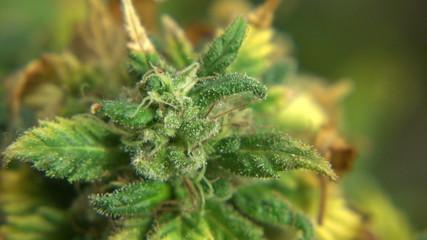 Marijuana Plant Big Cola - Zoom Out