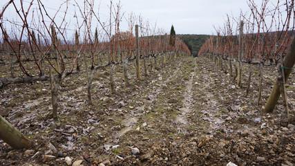 Vineyard in the winter