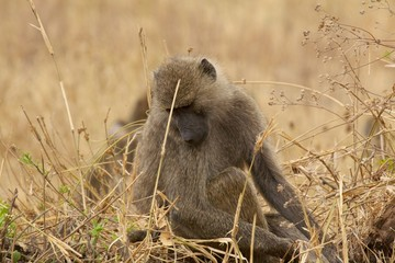 Lonel baboon