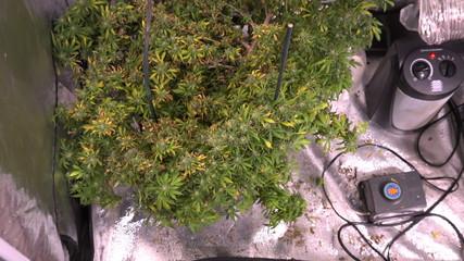 Marijuana Plant Indoor Grow Room - Zoom In
