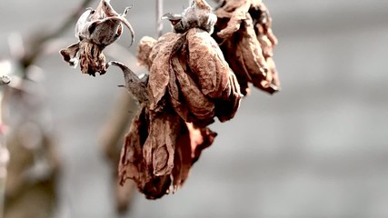 old dry leaves swaying in the wind close-up