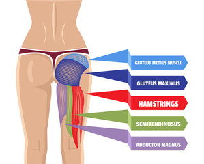 Vector Gluteus Maximus Illustration