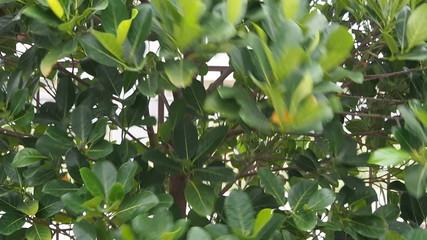 Vertical pan green leaves in wind.