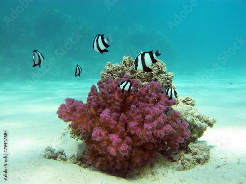 Leinwanddruck Bild coral reef with  fishes white-tailed damselfish - underwater