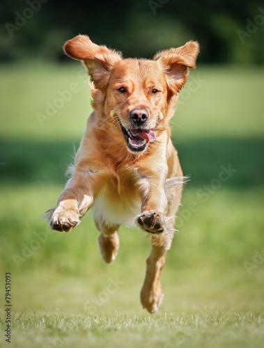 Golden retriever dog - 79453093