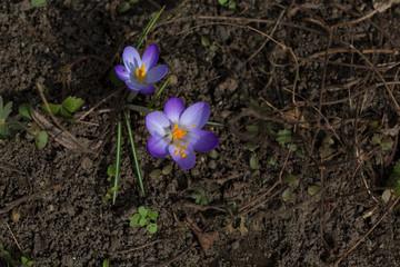 Lila Krokusse im Garten