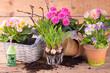 Leinwanddruck Bild - Pflanzschalen mit Frühlingsblumen bepflanzen