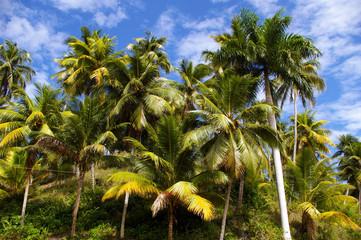 Grands palmiers .