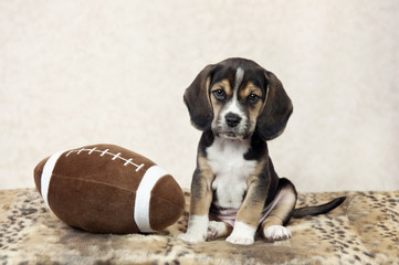 Beagle Puppy With Football