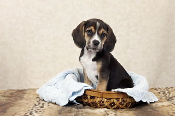 Beagle Puppy In A Basket