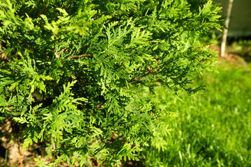 Thuja tree.