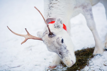 Beautiful white christmas reindeer in Lapland winter