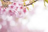 桜 満開 - 79471616