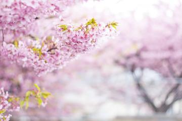 桜並木 満開